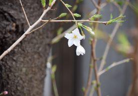 桜が咲きました❕